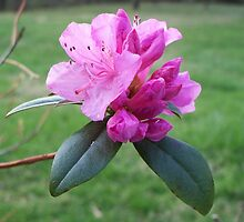 Welcoming Spring - Rhododendron 2 by WalnutHill