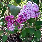 Lovely Lilac 7 by WalnutHill
