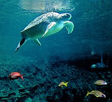 Green Sea Turtle by Leanne Churchill