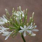 White Agapanthus by Sharon Brown