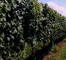 Summer Vineyard by ctheworld
