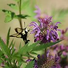 Hummingbird Moth by Rick  Friedle