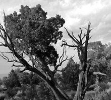 Old Tree 4 Colorado National Monument BW by marybedy