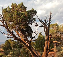 Old Tree 4 Colorado National Monument by marybedy