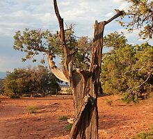 Old Tree 5 Colorado National Monument by marybedy