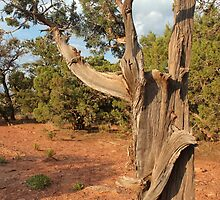 Old Tree 8 Colorado National Monument by marybedy