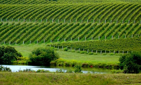 VIEW of the VINEYARD    ^ by ctheworld