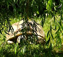 Tortoise under the willow tree by daniellebotto