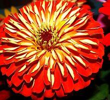 Bright zinnia by ♥⊱ B. Randi Bailey