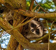 The Raccoon by mspixvancouver