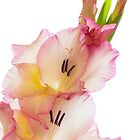 A Simple Gladiolus  by Lynn Gedeon