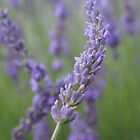 Lovely Lavender by Paraplu Photography