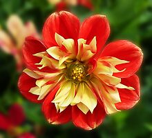 Dahlia red-yellow by Evelyn Laeschke