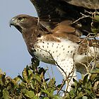 Martial Eagle Pre-Flight by jozi1