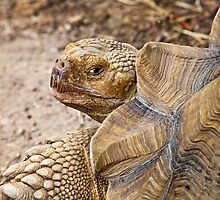 African Spurred Tortoise by Kenneth Keifer