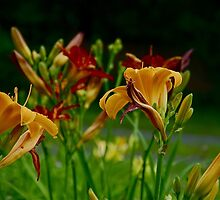 Daylily blooming by Carolyn Clark