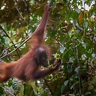 Young Orangutan - Borneo by Steve Bulford