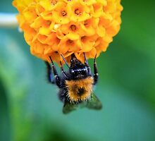 Bee on the orange ball by missmoneypenny