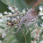 Wheel Bug (Assassin Bug) Eating Dinner   by Sheryl Hopkins