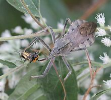 Wheel Bug (Assassin Bug) Eating Dinner   by Sheryl Hopkins