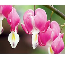 Bleeding Heart Flowers Hanging in a Row Photographic Print