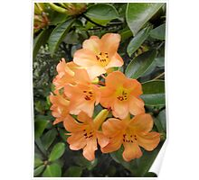 Peach Coloured Rhododendrons, Wollongong. Poster