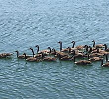 Beautiful Canada Geese by memories4ever