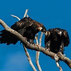 He wishes some bunny after copulating Wedge Tailed  Eagles Canberra Australia  by Kym Bradley