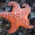 Pacific Starfish by photocase