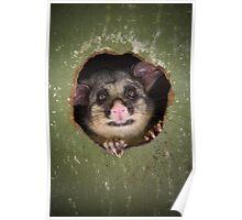 """""""Fatso"""" Brushtail Possum Poster"""