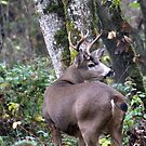 Blacktail buck... by RichImage