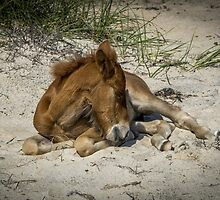 wild horse at shackleford banks, NC by johnlackphoto