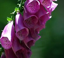 Foxglove Pretty Pink Bells by Lozzar Flowers & Art