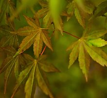Maple Leaves by mspixvancouver