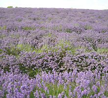 Lavender Fields at Snowshill by Pumpkin27
