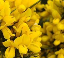 Yellow Gorse by Lesleymc77