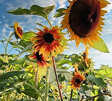 Sunflowers - Morning Sun by T.J. Martin