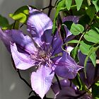Purple Clematis by lynn carter