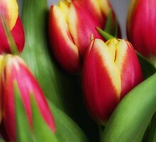 Spring tulips. by David DALES