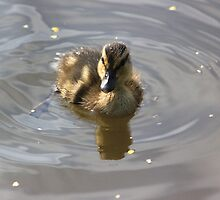 Mallard duckling on Llangollen canal by turniptowers