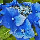 Blue Hydrangea- dedicated to my friend Viv by sarnia2