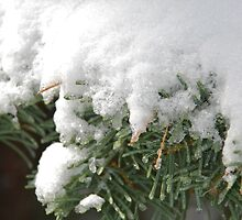 Snow-Flocked Pine Boughs by Jared Manninen