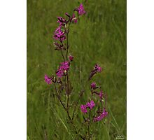 Red Campion in Burntollet Woods Photographic Print