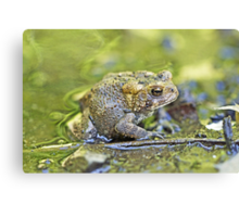 Eastern American toad - Anaxyrus americanus Canvas Print