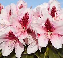 Rhododendron 'Mrs G.W. Leak' Flowerhead in Spring by hortiphoto
