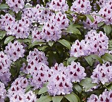 Rhododendron 'Blue Peter' in Full Bloom by hortiphoto