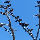 Cockatiels by watchthebirdie