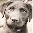 Trixie - Black Labrador Puppy by Rookwood Studio ©