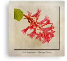 Ribes sanguineum - Flowering Currant Canvas Print