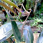 Praying Mantis in Magno;lia Bush by MardiGCalero